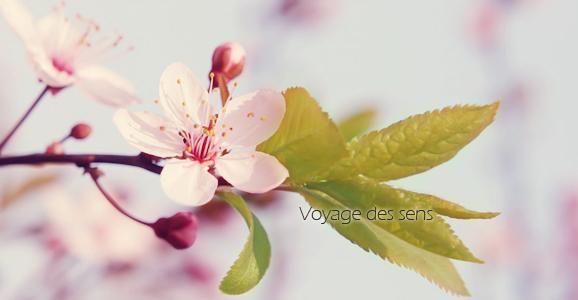thé vert sakura et o'hanami parfum de fleurs de cerisier   voyage